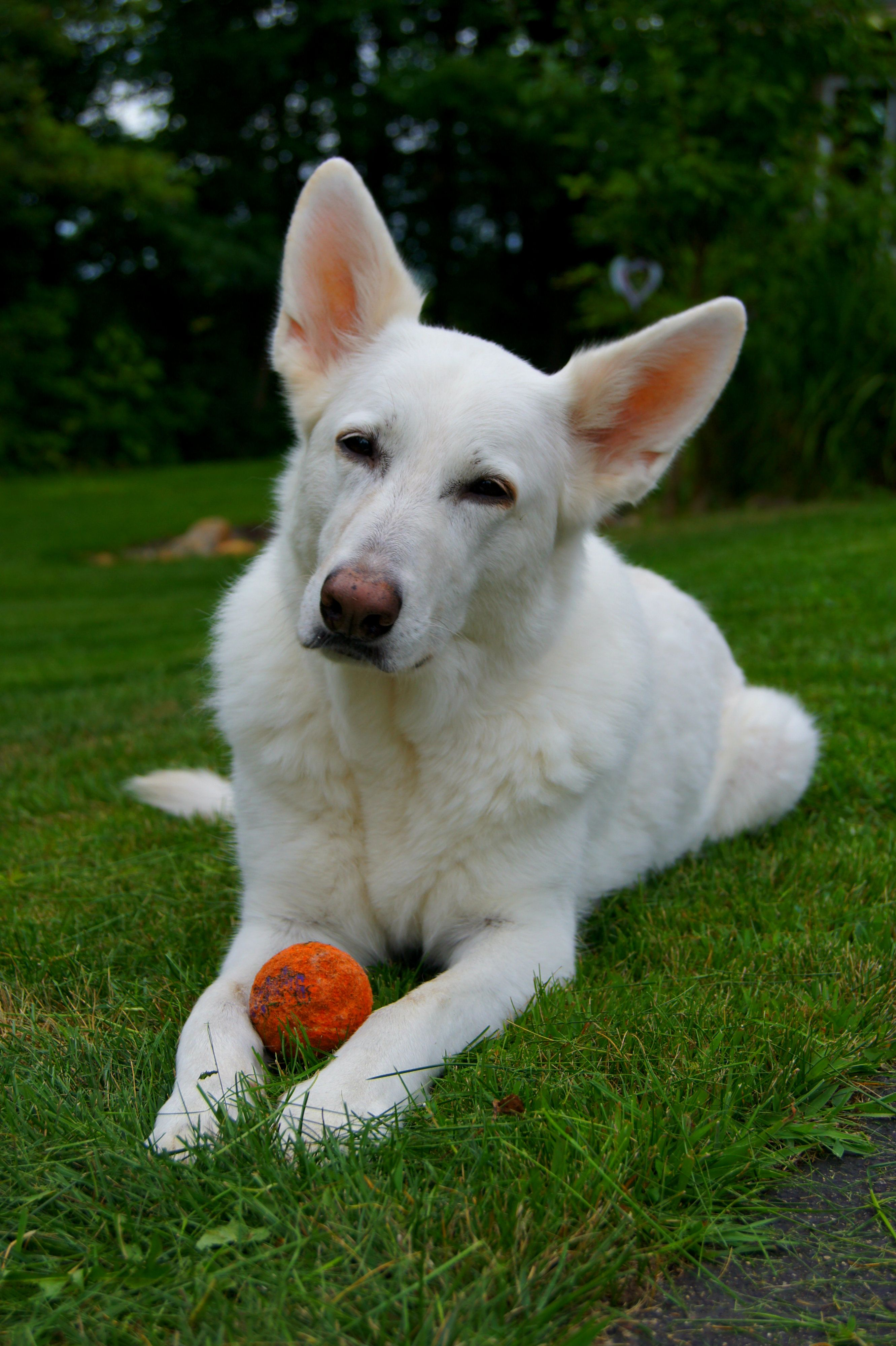 Our Girl Echo Ukc Alch Wgsdca Alch Wgsdci Alch Odyssey S Enchanted Echo Cgc German Shepherd Puppies White German Shepherd White German Shephard