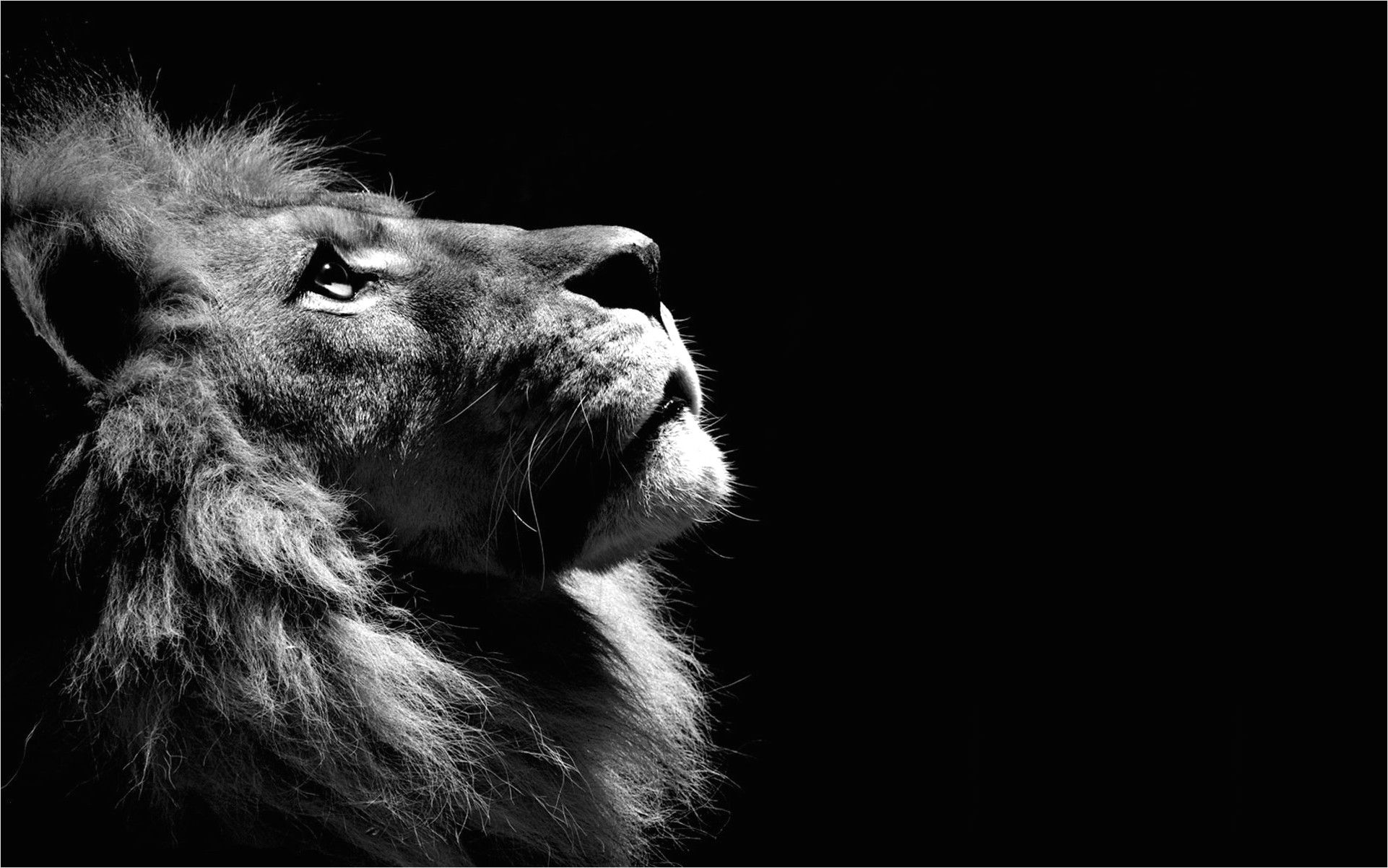 Black Lion 4k Wallpaper In 2020 Background Hd Wallpaper Lion Wallpaper Lion Pictures