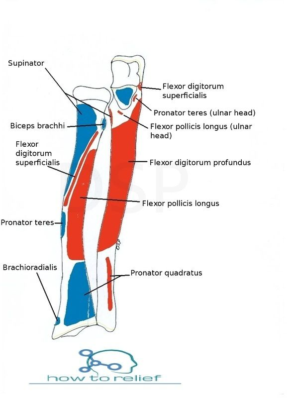 Radius anatomy muscle attachment bony landmark anatomy and muscles radius anatomy muscle attachment bony landmark how to relief ccuart Choice Image