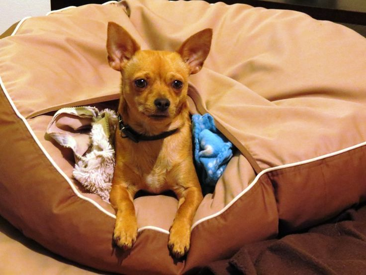 This Is Dexter A Cute Chihuahua Comfy In The Pouch Of His Barka
