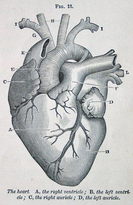 Bildergebnis Fr Anatomy Heart Flower Tatoos Pinterest Heart
