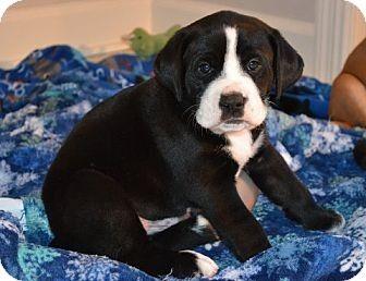 Knoxville Tn Labrador Retriever Boxer Mix Meet Hugo A Puppy