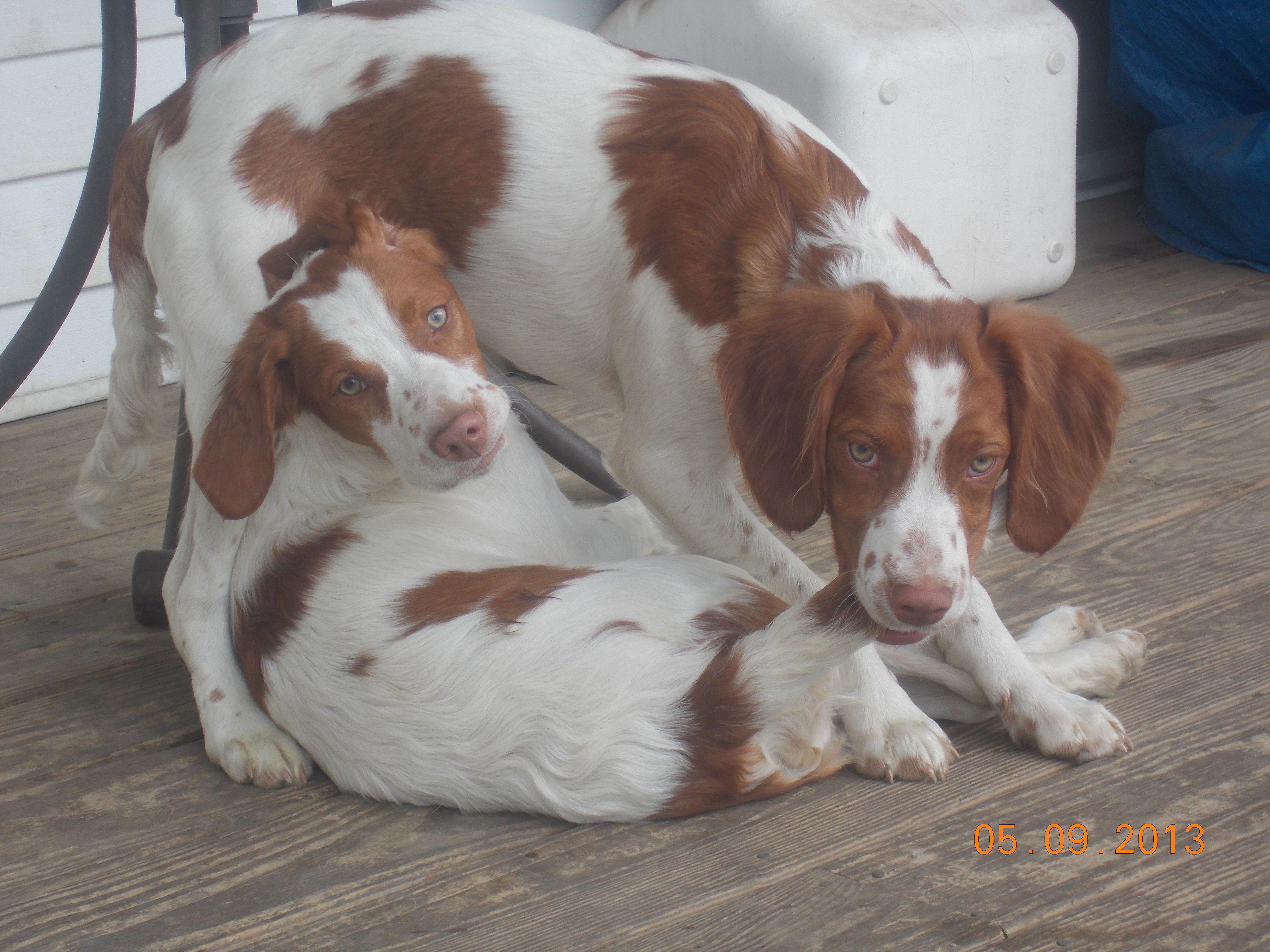 We Didn T Do It Brittany Spaniel Dogs Brittany Dog Cutest Dog Ever