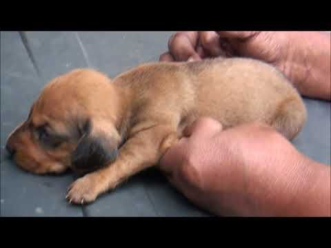 Six Dachshund Puppies For Sale At Thrissur In Kerala