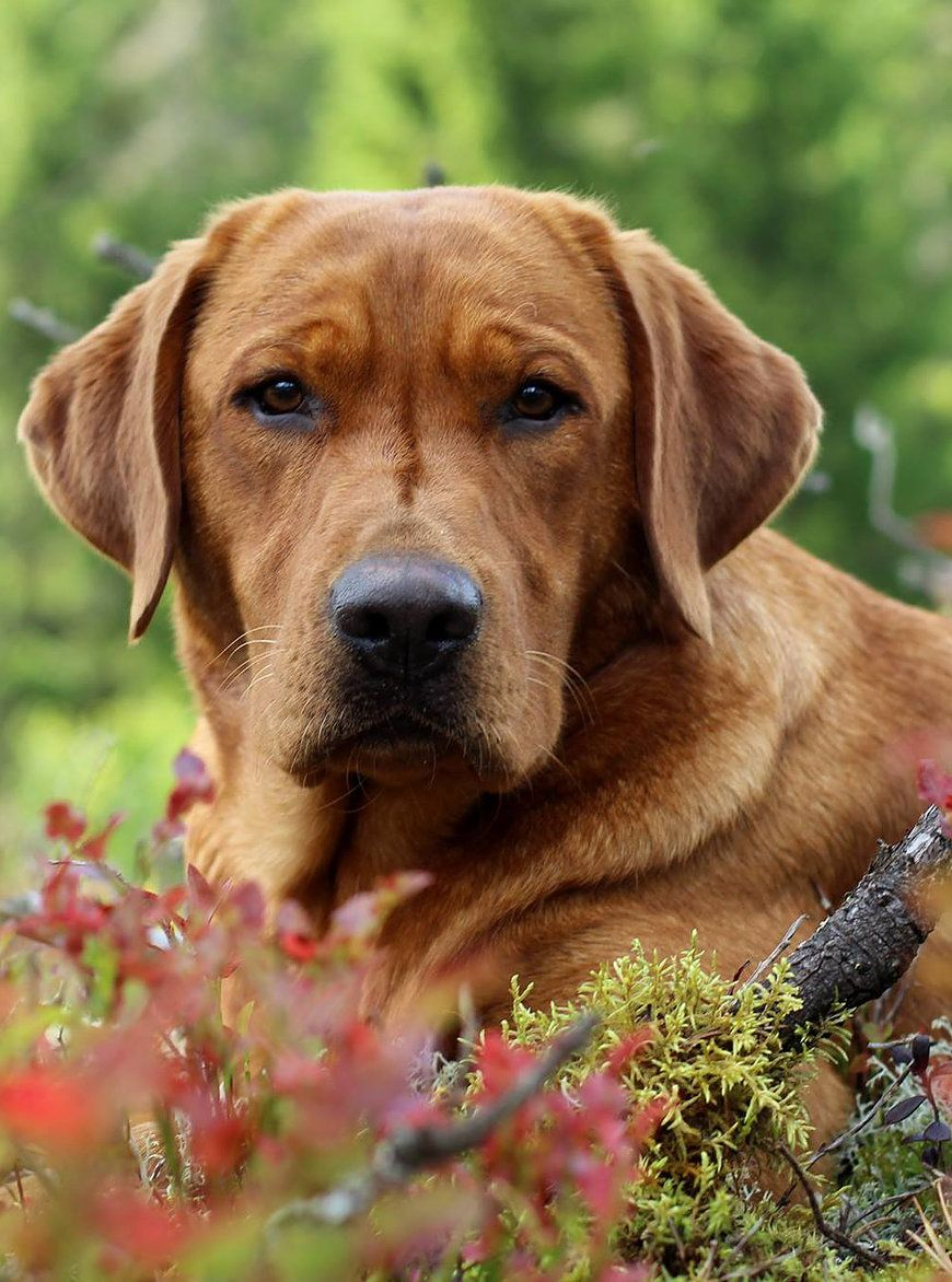 Labrador Retriever Zucht, Welpen in foxred weiss braun