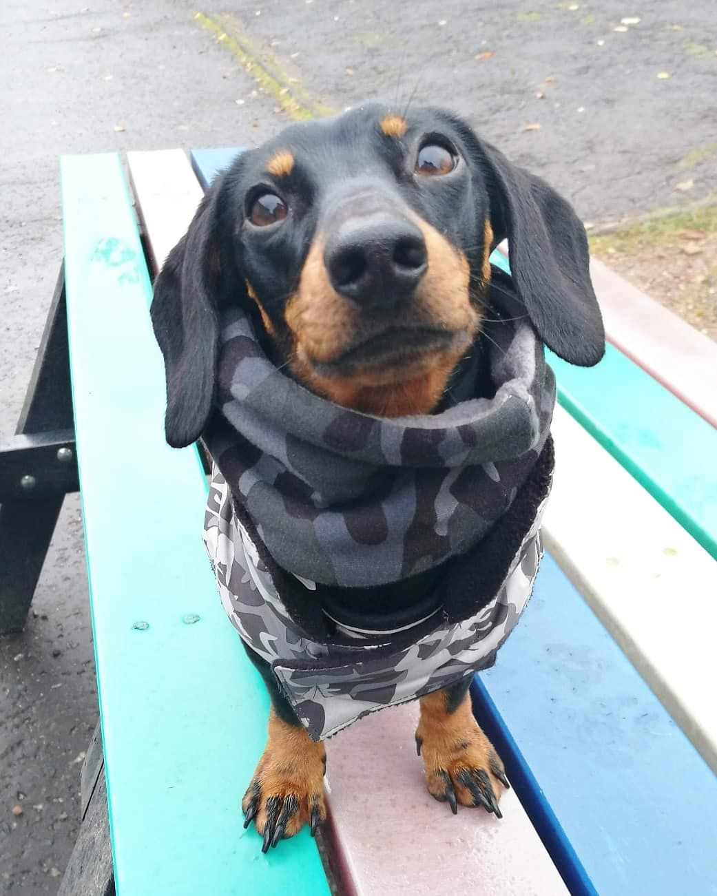 best way to stop barking dog rocking my camo snood from kookoopooch my pawrents said that it arrived super qu dogs and puppies dachshund love dog lovers pinterest