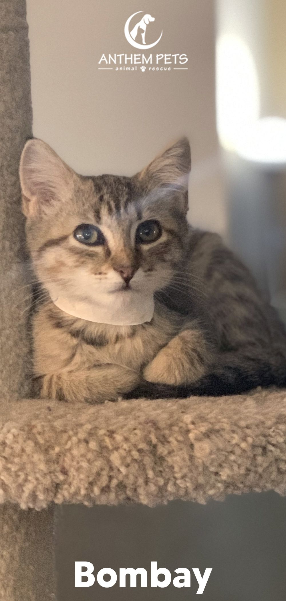 The First Name This Little Girl Had Was Big Eyes She Plays With The Other Kittens But Prefers A Nice Place To Be By Hers In 2020 Cat Adoption Cats Cats