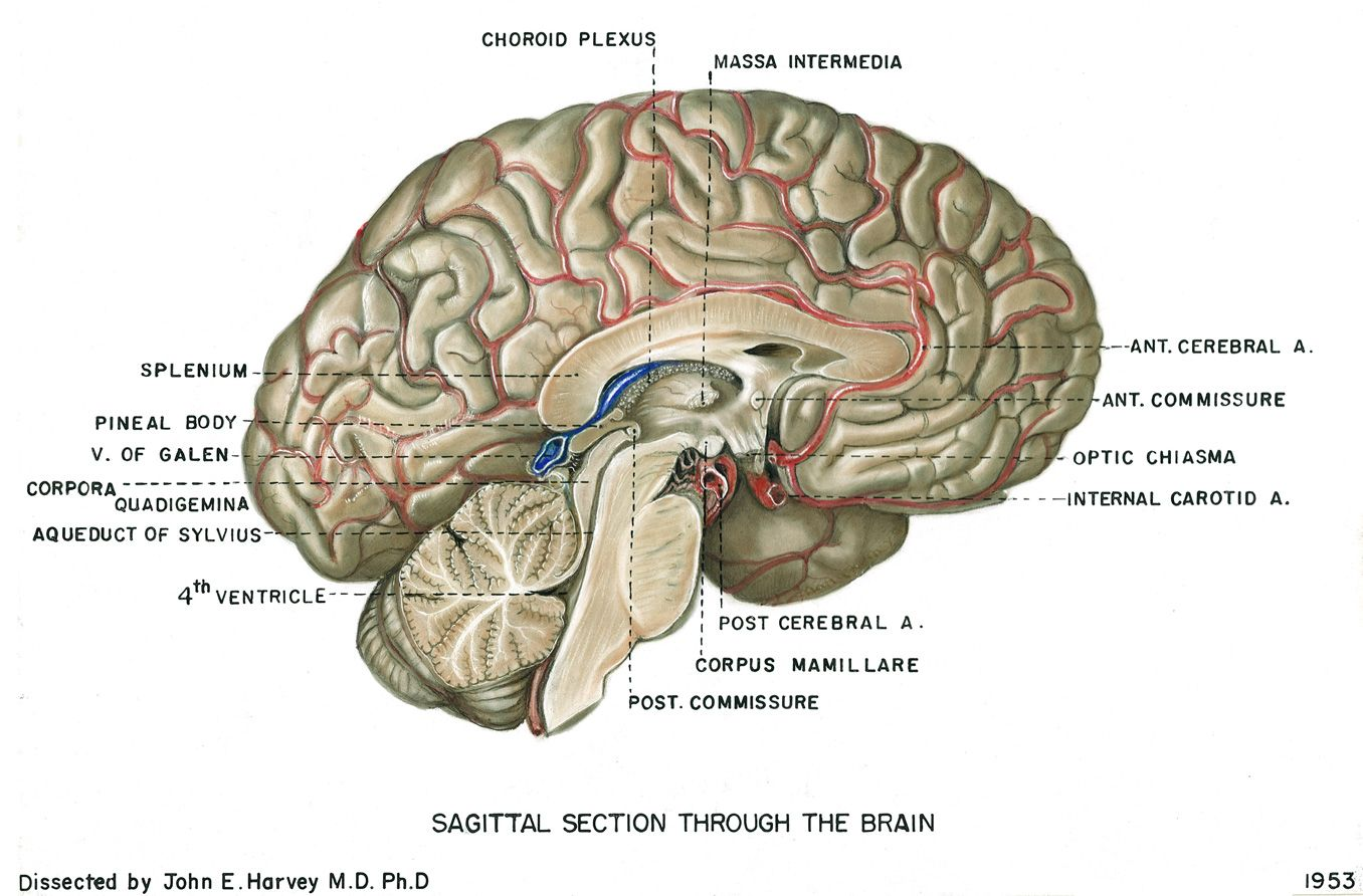 Brain human brain diagrams detailed information the brain is one brain human brain diagrams detailed information the brain is one of the most complex ccuart Image collections