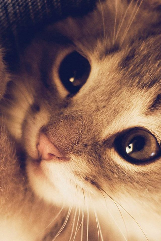 Cute Cat Kitten Naive Animal Macro Iphone 4s Wallpaper Iphone 4
