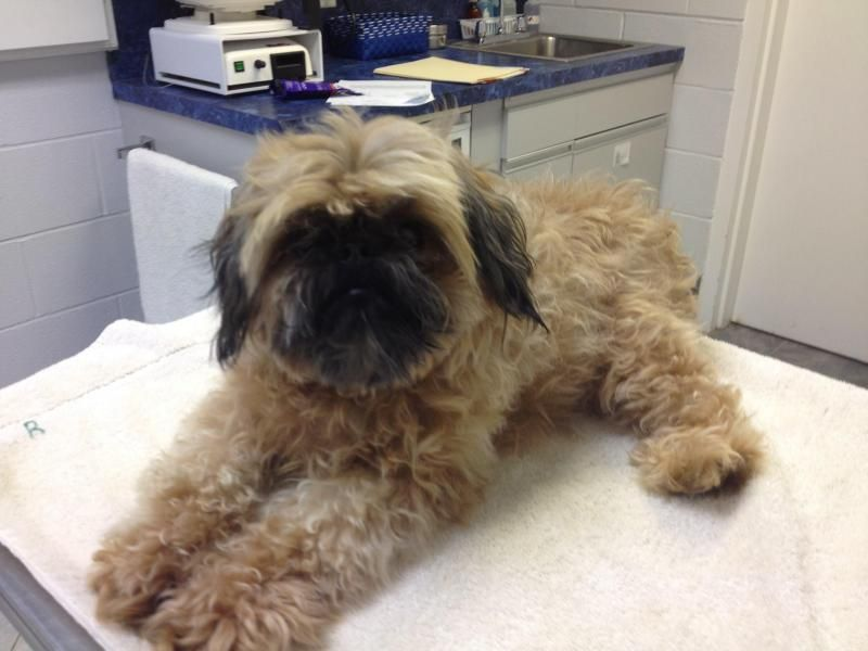Adopt Beau On Petfinder Griffon Dog Shih Tzu Pet Finder