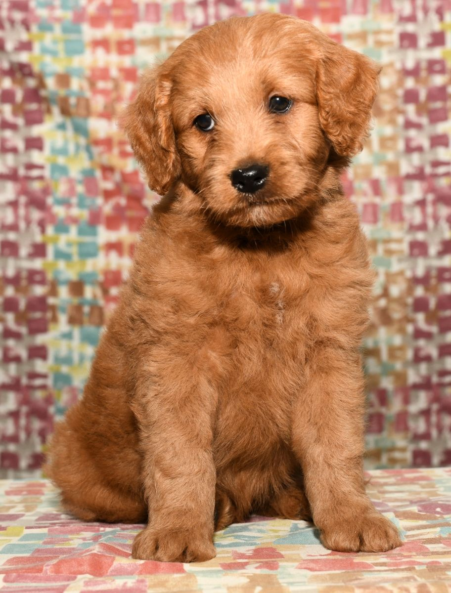 Puppies for Sale (With images) Goldendoodle puppy, Mini