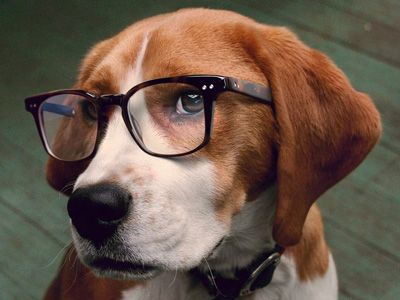 Podsy Cute Beagles Beagle Breeds Dog With Glasses