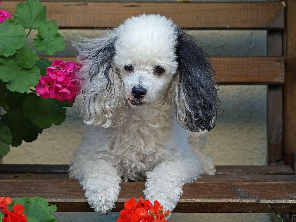 Harlequin Poodle Or Parti Poodle Parti Poodle Poodle Puppy Poodle