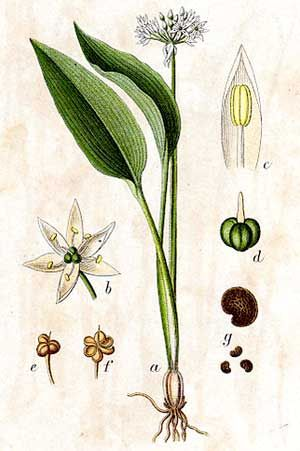 Plant Portrait Allium Ursinum Wild Garlic Botanical Illustration Wild Garlic Botanical Drawings