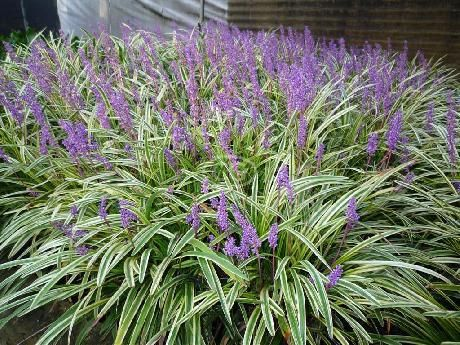 50 ORGANIC MONKEY GRASS Plants Liriope muscari Clumping Ground Cover