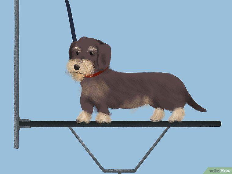 Groom A Wirehaired Dachshund Wire Haired Dachshund Dachshund