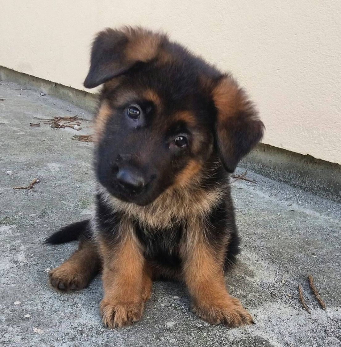 Gsd Puppy Puppy Pinterest Dogs German Shepherd Puppies And