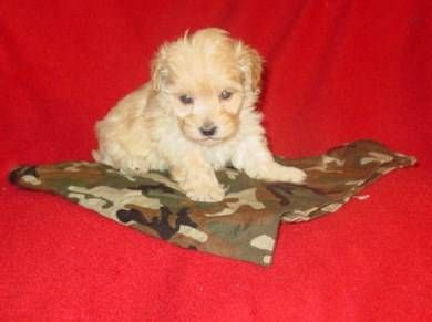 Strawberry Blond Maltipoo Puppies Dogs And Puppies Pup