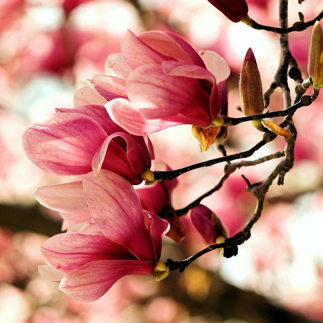 Magnolias in bloom southern illinois photo by laura