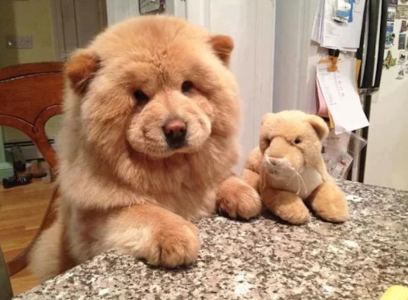 Popular Cdog Chubby Adorable Dog - 565195d2d027c3db7458e95c106e0eed  Gallery_949061  .png
