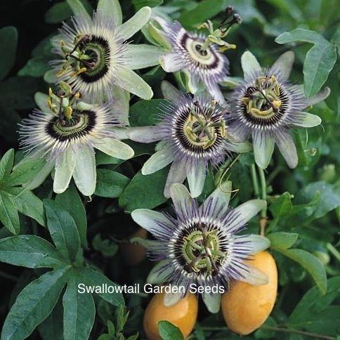 Passion Vine Blue Crown Passion Flower Flowering Vines Passiflora Caerulea