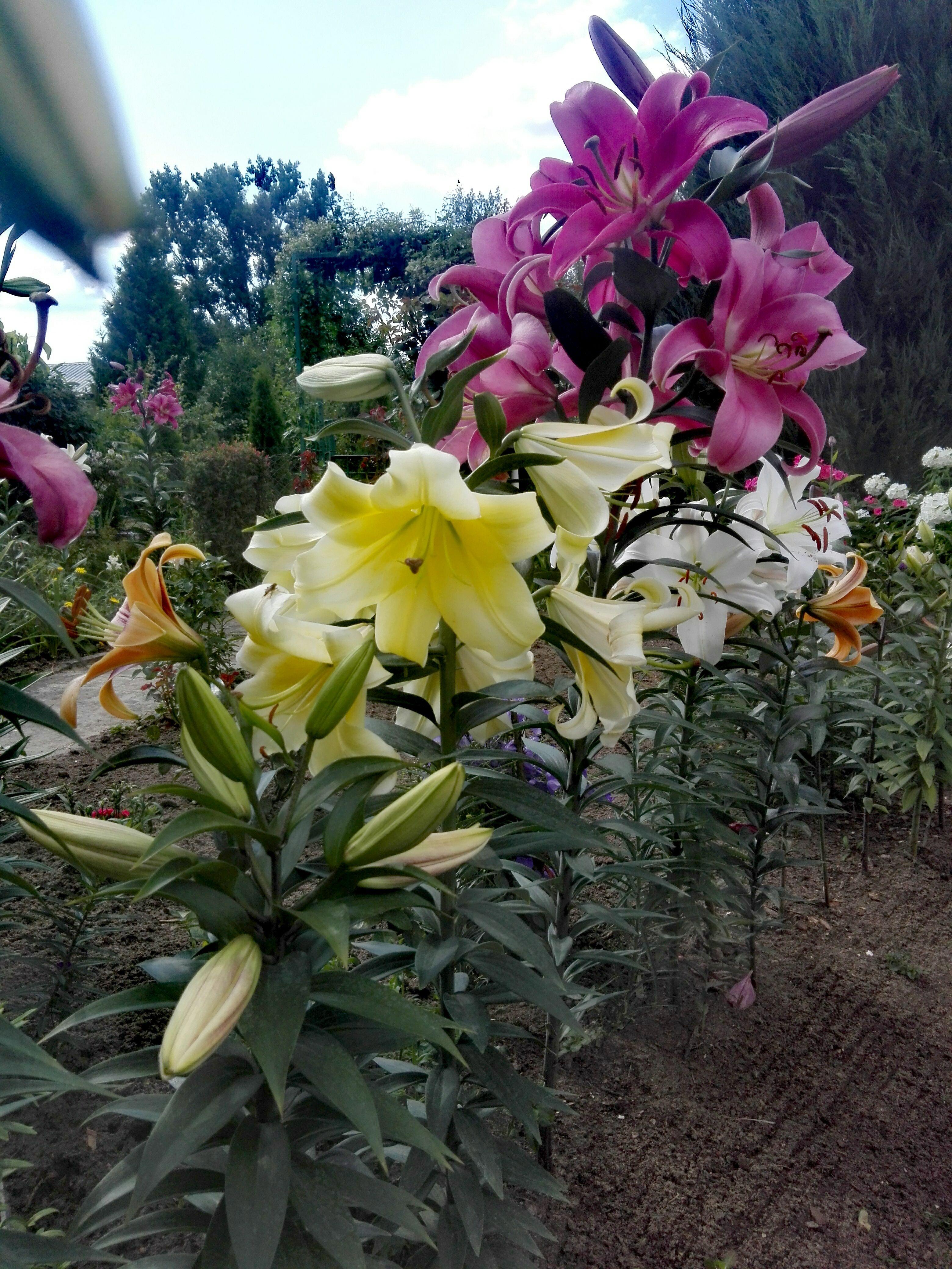 Kolorowe Lilie W Ogrodzie Plants