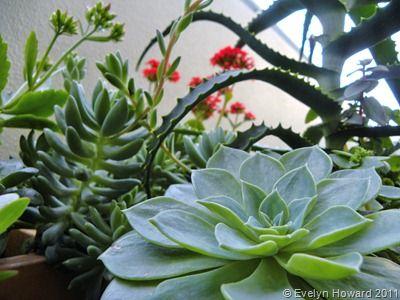 Succulents © Evelyn Howard 2011