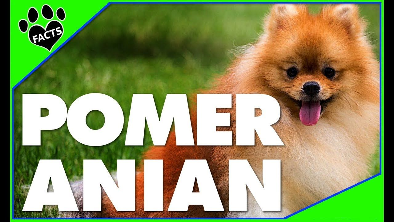 Dogs 101 10 Facts About The Pomeranian Most Popular Dog Breeds Anim Popular Dog Breeds Most Popular Dog Breeds Animal Facts