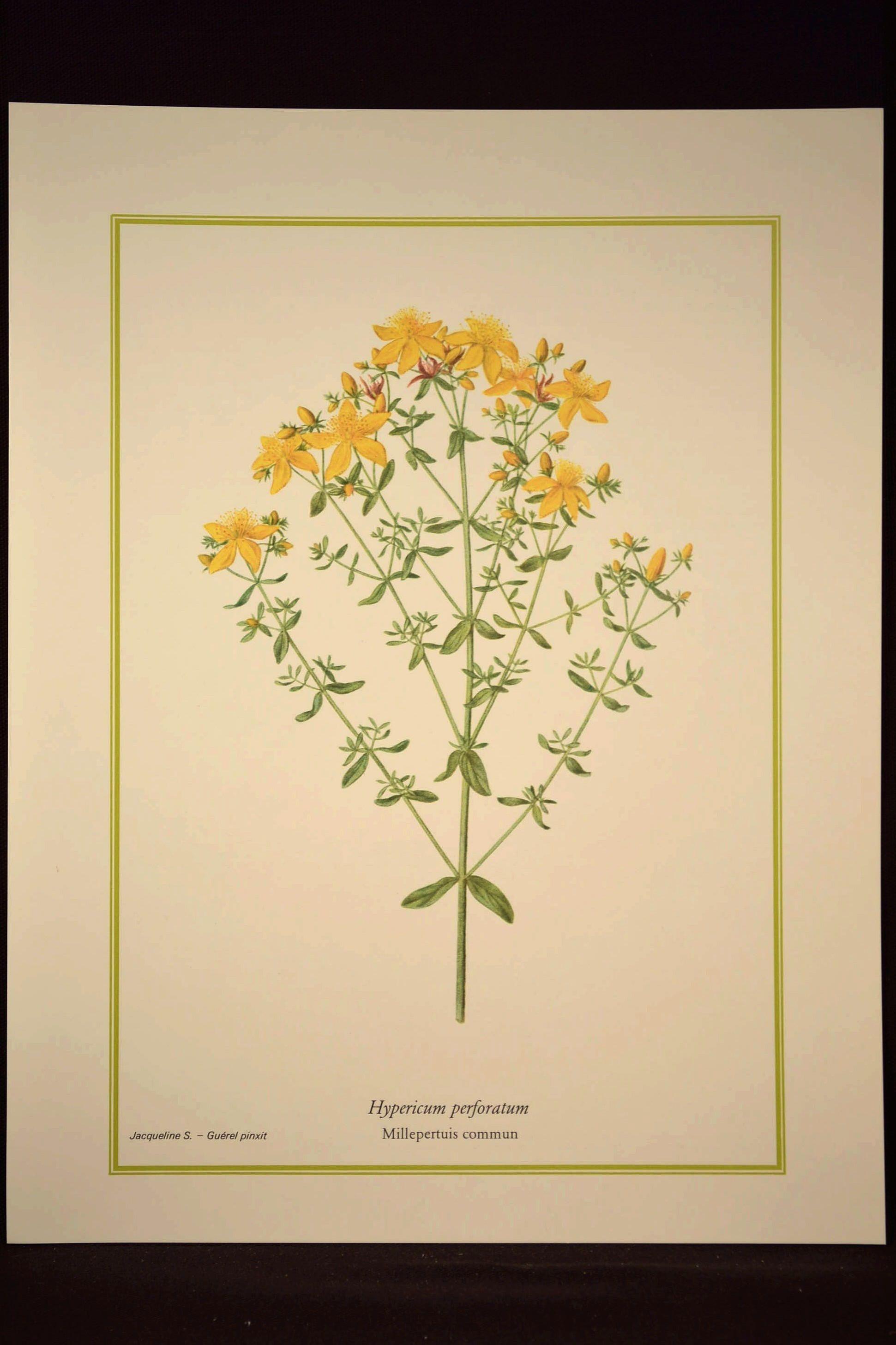 St Johns Wort Flower Print Yellow Flower Wall Art Print | Nature ...