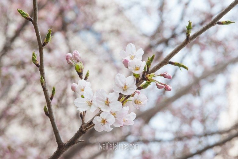 Macro Monday Volume 6 Live Life Tell Tales Flowers Photography Cherry Blossom Blossom