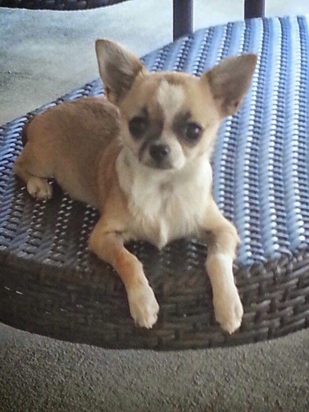 Pin By Melanie Snowhite On Chihuahuas Chihuahua Love Chihuahua Bulldog