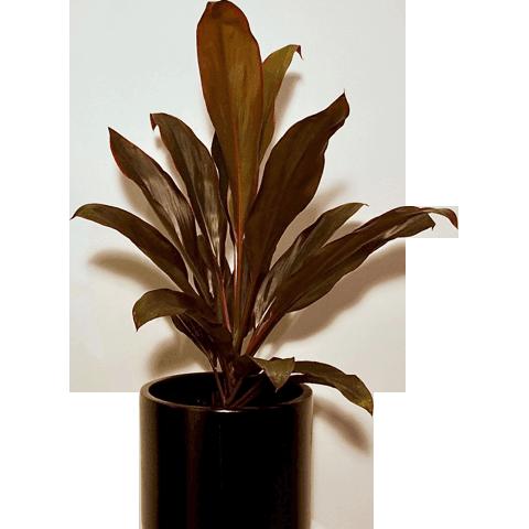 Red Leaf Cordyline Rubra Plants Innerjungle Indoorplants Houseplants Bloomspace Indoor Plants Plants Plants Delivered