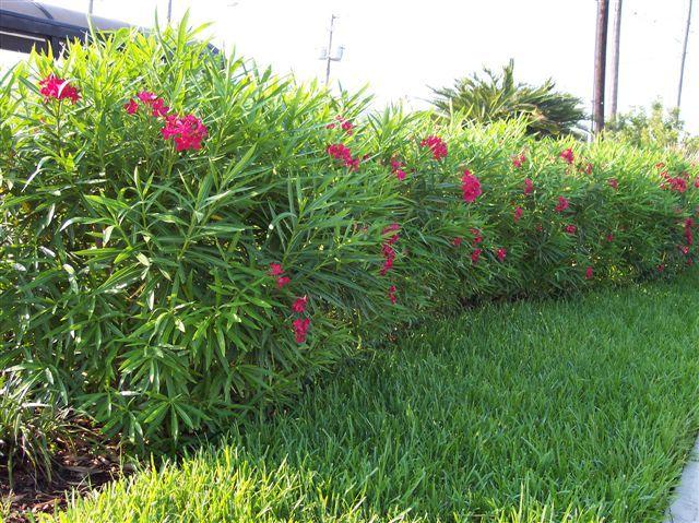 Dwarf Red Oleander 5 8 Feet Height Sun To Part Sun
