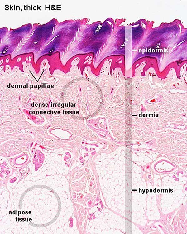 Adult skin histology 02.jpg Integumentary system, Human
