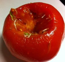 A tomato that already has new plants growing inside of it when we cut into it.