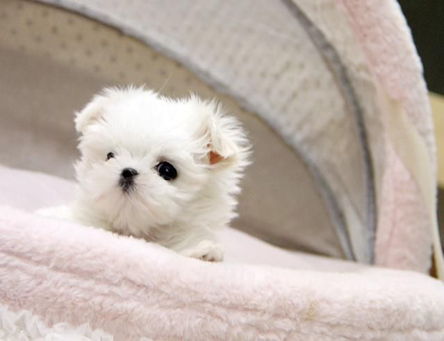 Micro Teacup Puppies For Sale In California Zoe Fans Blog