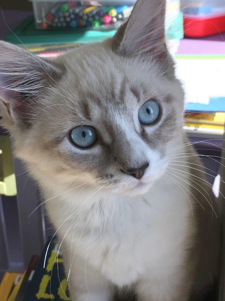 fidgetcat - Cats!! - Lucy Blue Eyes in 2020   Free online