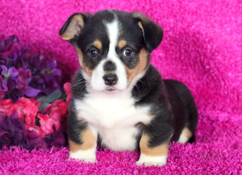 Special Health Guaranteed Keystone Puppies Welshcorgi