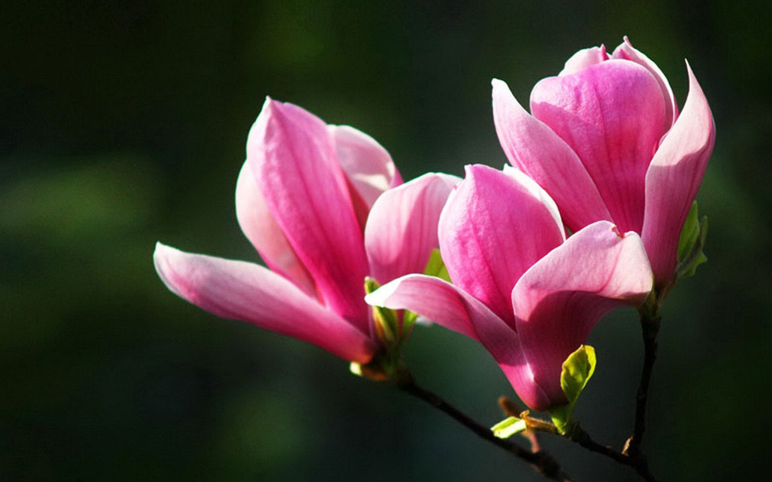Pink Magnolia Bloom Flowers Flower Meanings Pictures And Photos Magnolia Flower Flower Meanings Amaryllis Flowers