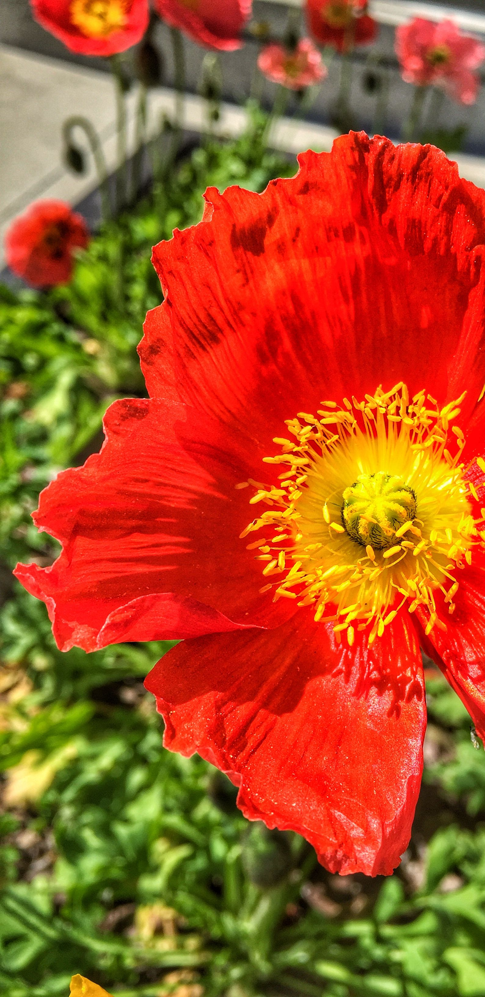 California Poppy State Flower There Are Different Colors Of The