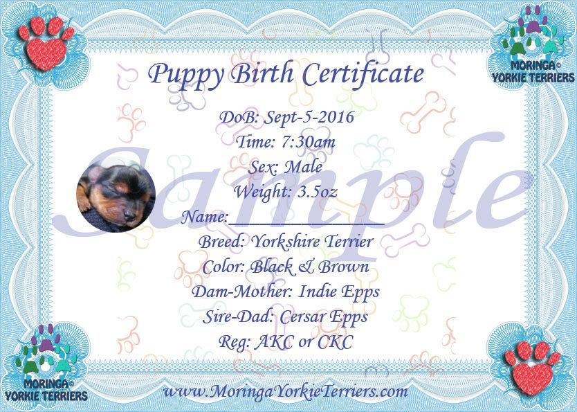 Male Yorkie Terrier Birth Certificate Yorkie Birth Certificates