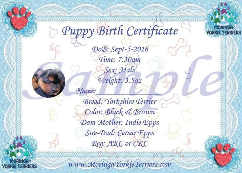 Male Yorkie Terrier Birth certificate Yorkshire terrier