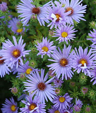 The Georgia Aster Flower Power Collaboration Keeps Rare Plant Off The Endangered Species List Endangered Plants Rare Plants Aster Flower