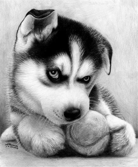 Baby husky drawing   Pencil drawings of animals, Realistic ...