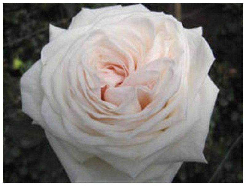 Superb White Ohara Roses   Google Search