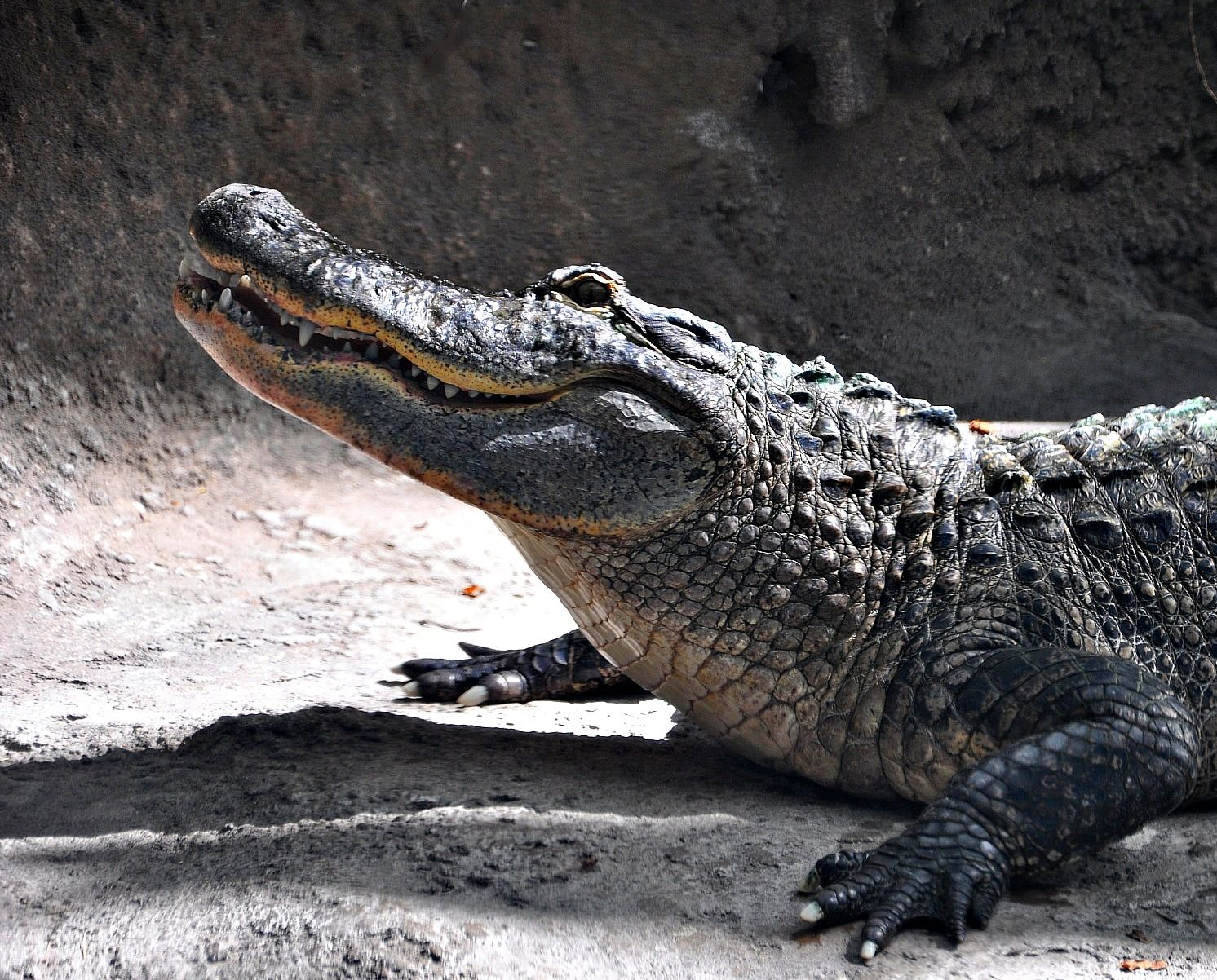 One of our 4 American alligators on exhibit.