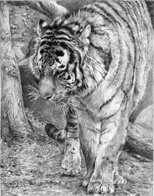 Pause By Gloriadei Tiger Wildlife Cat Coloring Pages