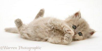 Lilac-tortoiseshell Persian-cross kitten