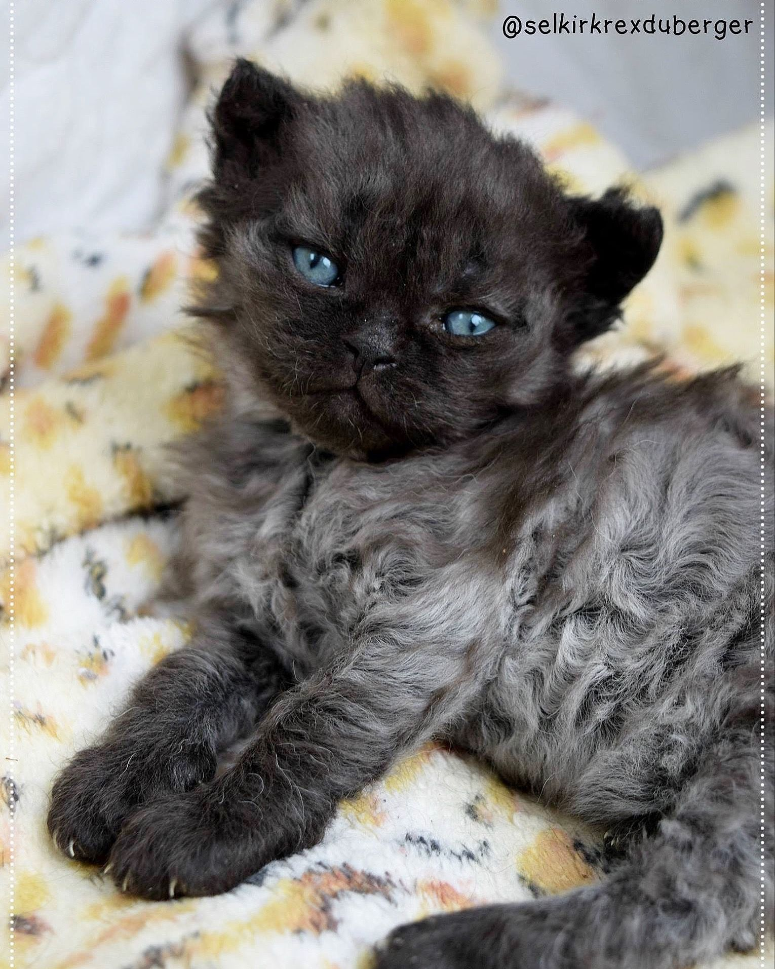 Beautiful Curly Haired Cat Breeds In The World Cat Breeds Curly Haired Cat Cute Cats And Kittens