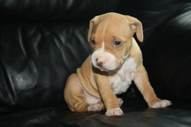 2 American Pitbull Terrier Pups For Sale Animals Pitbull